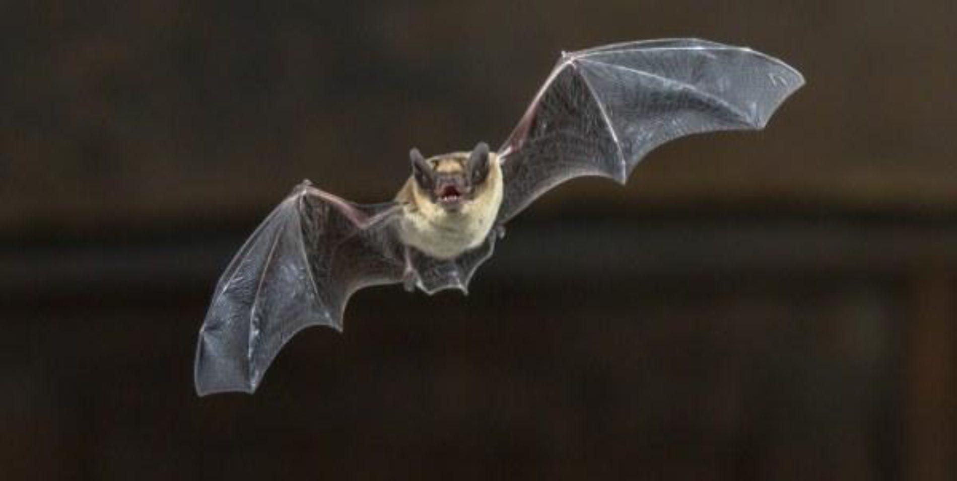 Morcego é ave?