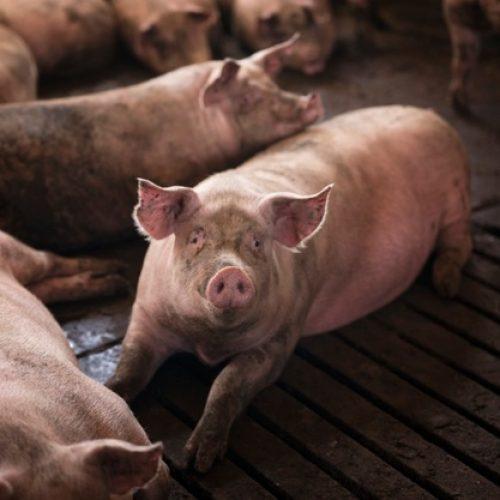 Porco: 7 Razões Porque Comer Tal Carne é Pecado